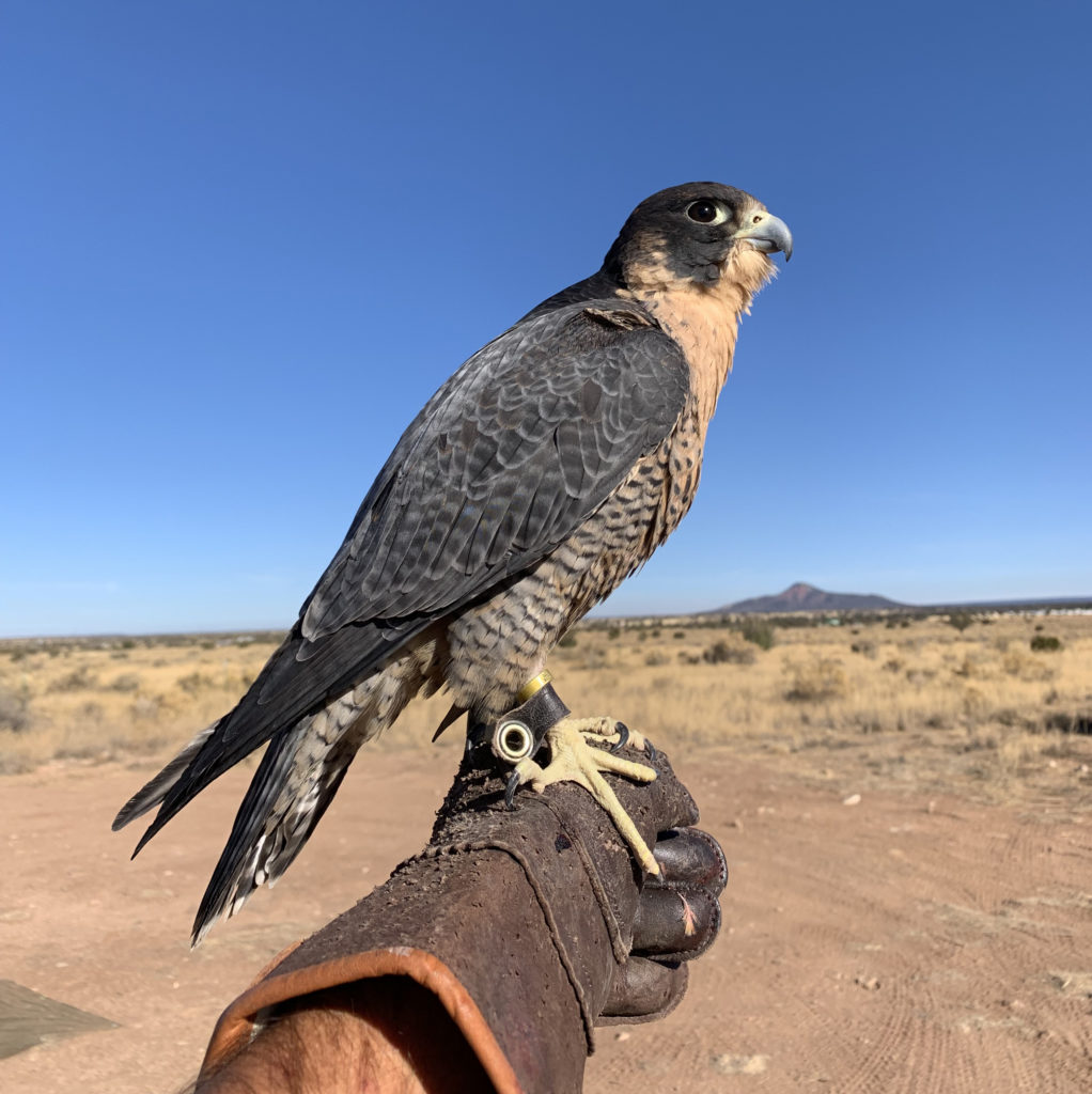 FREE morning falconry demonstration when you camp with us!